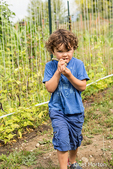 Four year old boy eating a freshly picked Rattlesnake heirloom beans in a garden in Maple Valley, Washington, USA.  This pole bean is easy to grow and produces lots of green pods that have purple streaks. Good flavor and very tender; the speckled seeds are popular in soup.