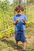 Four year old boy picking and examining Rattlesnake heirloom beans in a garden in Maple Valley, Washington, USA.