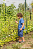 Four year old boy picking and eating Rattlesnake heirloom beans in a garden in Maple Valley, Washington, USA.