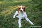 "Two month old Brittany Spaniel ""Archie"" reclining in his yard in Issaquah, Washington, USA"