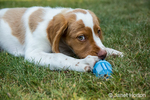 "Two month old Brittany Spaniel ""Archie"" chewing a toy in Issaquah, Washington, USA"