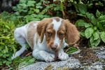 "Two month old Brittany Spaniel ""Archie"" enjoying a chew stick in Issaquah, Washington, USA"