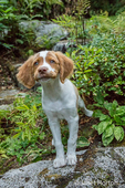 "Two month old Brittany Spaniel ""Archie"" practicing a ""stay"" command on a rocky path in Issaquah, Washington, USA"