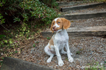 "Two month old Brittany Spaniel ""Archie"" sitting on a rocky path in his yard in Issaquah, Washington, USA"