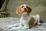 "Two month old Brittany Spaniel ""Archie"" reclining on a patio chair, in Issaquah, Washington, USA"