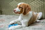 """Two month old Brittany Spaniel """"Archie"""" with his chew toy, reclining on a patio chair, in Issaquah, Washington, USA"""