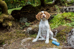 Two month old Brittany Spaniel