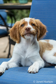 Close-up of a two month old Brittany Spaniel
