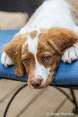 "Close-up of a two month old Brittany Spaniel ""Archie"" reclining on a patio chair in Issaquah, Washington, USA"