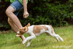 """Two month old Brittany Spaniel """"Archie"""" running next to his ten year old girl owner in his yard, in Issaquah, Washington, USA"""