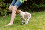 "Two month old Brittany Spaniel ""Archie"" running next to his ten year old girl owner in his yard, in Issaquah, Washington, USA"