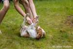 "Ten year old girl playfully roughhousing with her two month old Brittany Spaniel ""Archie"" in Issaquah, Washington, USA"