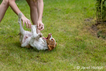 Ten year old girl playfully roughhousing with her two month old Brittany Spaniel