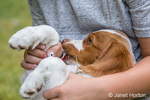 Eleven year old boy holding a two month old Brittany Spaniel who has been eating grass, in Issaquah, Washington, USA