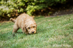 "Eight week old Goldendoodle puppy ""Bella"" sniffing the grass in Issaquah, Washington, USA"