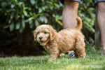 "Eight week old Goldendoodle puppy ""Bella"" playing on the lawn beside her owner in Issaquah, Washington, USA"