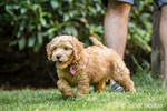 Eight week old Goldendoodle puppy