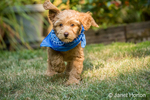 "Eight week old Goldendoodle puppy ""Bella"" wearing a neckerchief while playing on the lawn in Issaquah, Washington, USA"