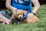 "Eight week old Goldendoodle puppy ""Bella"", wearing a neckerchief, taking a break from playing to sit by her owner, in Issaquah, Washington, USA"