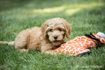 "Eight week old Goldendoodle puppy ""Bella"" resting on the lawn, chewing a toy, in Issaquah, Washington, USA"