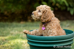 """Eight week old Goldendoodle puppy """"Bella"""" sitting inside an empty flower pot, unsure how to get out, in Issaquah, Washington, USA"""