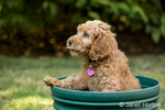 "Eight week old Goldendoodle puppy ""Bella"" sitting inside an empty flower pot, unsure how to get out, in Issaquah, Washington, USA"