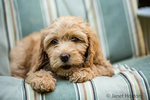 "Eight week old Goldendoodle puppy ""Bella"" reclining on a lawn chair in Issaquah, Washington, USA"