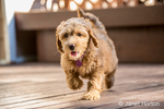 """Happy eight week old Goldendoodle puppy """"Bella"""" walking across a wooden deck, in Issaquah, Washington, USA"""