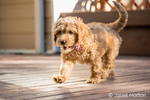 "Happy eight week old Goldendoodle puppy ""Bella"" walking across a wooden deck, in Issaquah, Washington, USA"