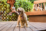 """Eight week old Goldendoodle puppy """"Bella"""" trying to get her giraffe toy which is dangled in front of her, in Issaquah, Washington, USA"""