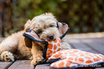 "Eight week old Goldendoodle puppy ""Bella"" playing with a dog toy on a wooden deck, in Issaquah, Washington, USA"