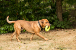 "Redfox Labrador ""Mitchell"" running with a ring toy in Issaquah, Washington, USA"