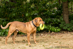 "Redfox Labrador ""Mitchell"" standing with a ring toy in his mouth in Issaquah, Washington, USA"