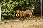 "Redfox Labrador ""Mitchell"" running behind a soccernet, with a ring toy in his mouth, in Issaquah, Washington, USA"
