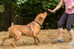 "Redfox Labrador ""Mitchell"" being trained by an 11 year old girl to stay, in Issaquah, Washington, USA"