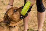 "Redfox Labrador ""Mitchell"" being trained by an 11 year old girl to ""give"" his toy to her, in Issaquah, Washington, USA"