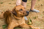 """Redfox Labrador """"Mitchell"""" being trained by an 11 year old girl to lie """"down"""" beside her, in Issaquah, Washington, USA"""