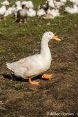 Pekin duck walking in western Washington, USA.