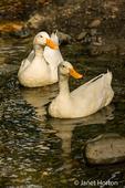 Domestic free-range Pekin ducks swimming in the stream by their farm in western Washington, USA.