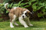 "Three month old Saint Bernard puppy ""Mauna Kea"" abruptly stopping from his running, in Renton, Washington, USA"