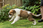 "Three month old Saint Bernard puppy ""Mauna Kea"" chasing after a thrown toy in his yard in Renton, Washington, USA"