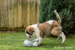 "Three month old Saint Bernard puppy ""Mauna Kea"" about to grab a thrown toy in his yard in Renton, Washington, USA"
