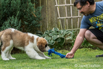 "Three month old Saint Bernard puppy ""Mauna Kea"" playing tug with a rope toy with his owner in their yard in Renton, Washington, USA"