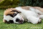 Three month old Saint Bernard puppy