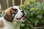 "Three month old Saint Bernard puppy ""Mauna Kea"" expecting a treat for his good behavior in Renton, Washington, USA"