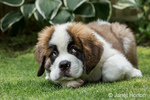 "Three month old Saint Bernard puppy ""Mauna Kea"" with a humorous guilty look on his face as he takes a break from play in his yard, in Renton, Washington, USA"