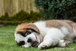 """Three month old Saint Bernard puppy """"Mauna Kea"""" looking wild-eyed as he takes a quick break from play in his yard in Renton, Washington, USA"""
