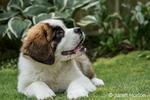 "Three month old Saint Bernard puppy ""Mauna Kea"" anticipating a reward for his good behavior, in Renton, Washington, USA"