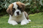 "Portrait of a three month old Saint Bernard puppy ""Mauna Kea"" in his yard in Renton, Washington, USA"