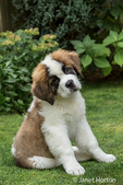 "Portrait of a three month old Saint Bernard puppy ""Mauna Kea"" in his yard in Renton, Washington, USA"